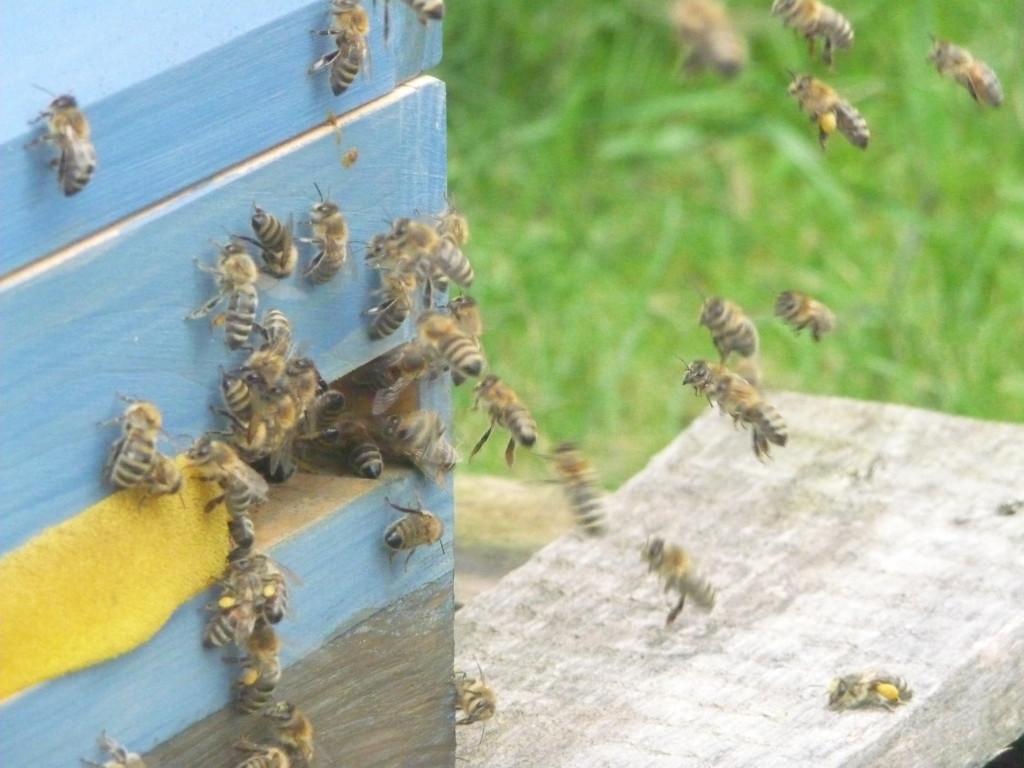 Bienen am Einflug