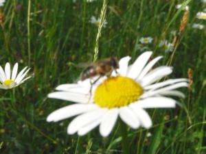 Eine Biene sitzt auf eine Mageritte und sammelt Pollen